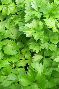 parsley kothra